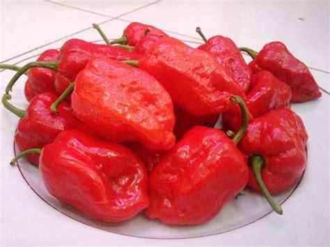 Bibit Benih Seeds Cabe Pedas Jalapeno Pepper jual benih bibit biji cabe naga bonar pepper seeds import onigiri frenzy