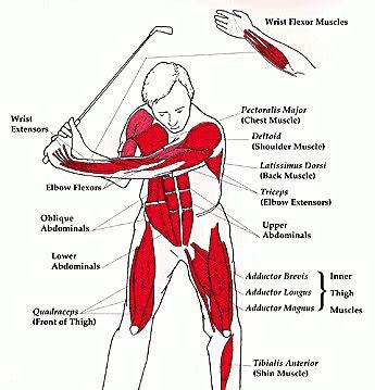 muscles used in golf swing golf swing muscles szukaj w google anatomy pinterest