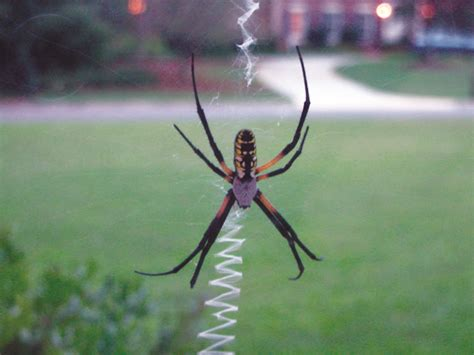 Garden Spider Building A Web Garden Spider Facts Get Rid Of Garden Spiders