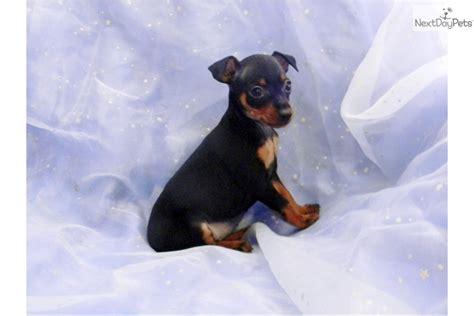 min pin puppies miniature pinscher miniature pinscher puppy for sale near texarkana arkansas