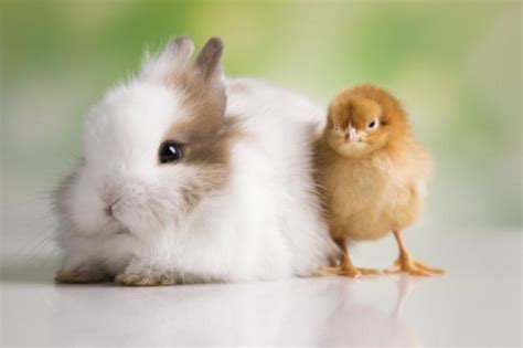 cute rabbits and chicks people are still buying rabbits and chicks on a whim at