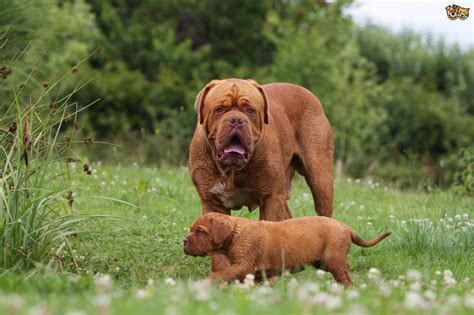 are dogs for you is a dogue de bordeaux the right for you pets4homes