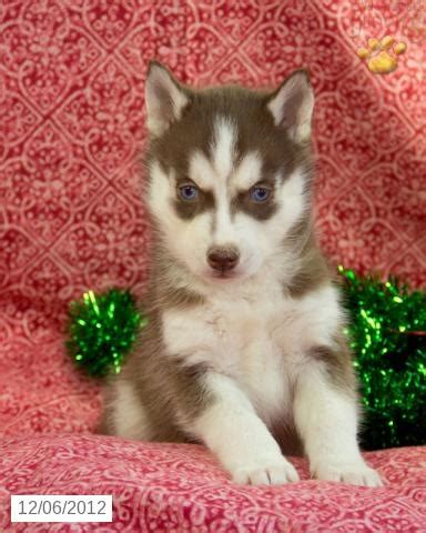 husky puppies for sale in ri 25 best ideas about husky puppies for sale on huskies for sale baby