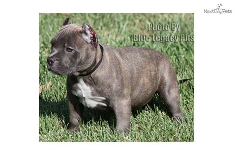 pocket pitbull puppies for sale near me american pit bull terrier puppy for sale near los angeles california c385640c 2bf1