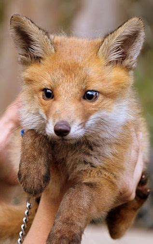 how cute pet foxes steal your heart baby foxes foxes and babies on