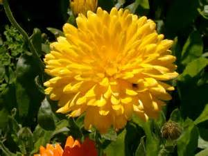 Bigyellow Lookup Big Yellow Flower Wallpapers Driverlayer Search Engine
