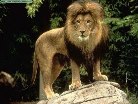 imagenes leones del ccs fotos de leones taringa