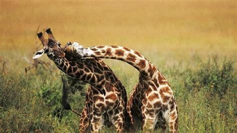 imagenes de jirafas y vacas 14 cortejos animales exageradamente locos