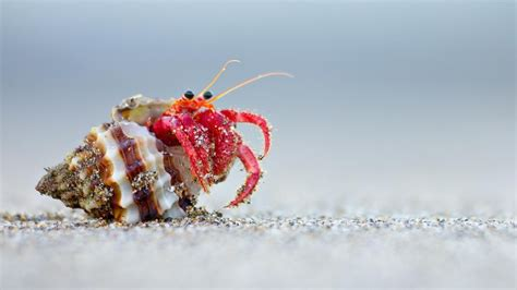 what do hermit crabs eat reference com
