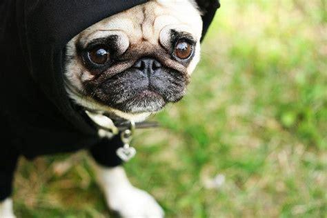 pug with hoodie pug hoodie peace pugs