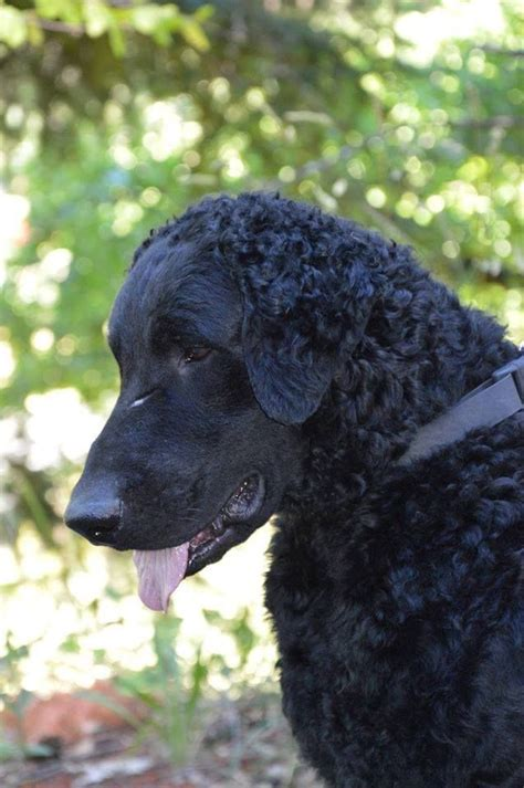 curly coated golden retriever 25 best ideas about curly coated retriever on