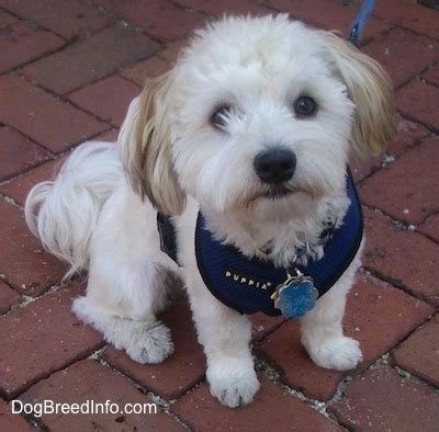 what is a havanese puppy puppy cut havanese www pixshark images galleries with a bite