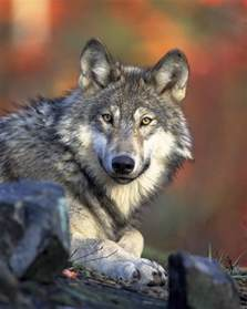 how much are laptops on black friday fun facts about the wolf wolf facts and information