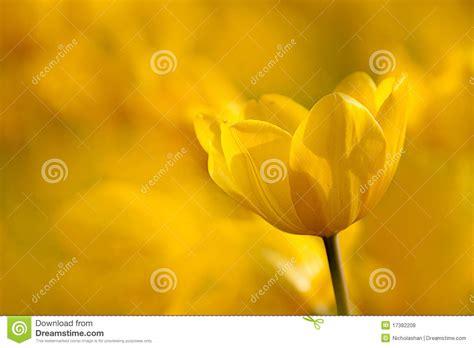 yellow tulip  nice light yellow background royalty