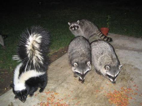 Why Does House Smell Like Skunk 56 Best Images About Skunks Skunk Polecat Polecats On
