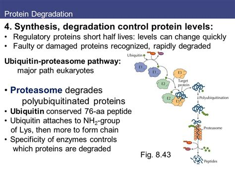 protein levels 8 protein synthesis processing and regulation ppt
