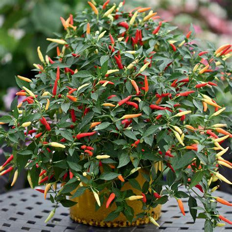 Tanaman Cabai Rawit Mini westlandpeppers peper plant als sierplant