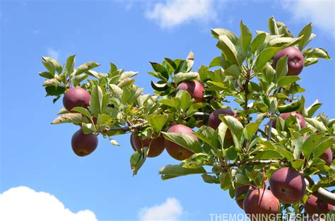 nc fruit trees trees archives the morning fresh