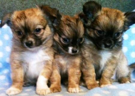 small puppies for sale best 25 small dogs for sale ideas on tiny dogs for sale small puppies