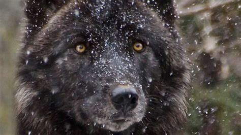 minnesota zoo gray wolf minnesota zoo