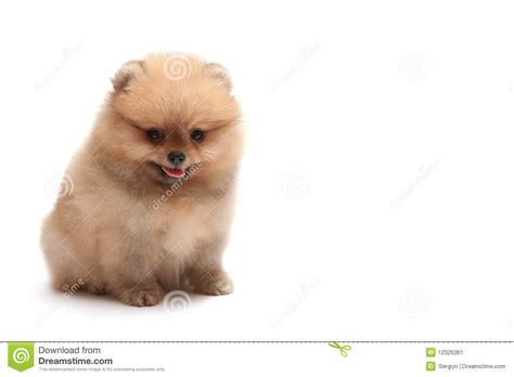 pomeranian sitting sitting pomeranian spitz puppy stock image image 12326361