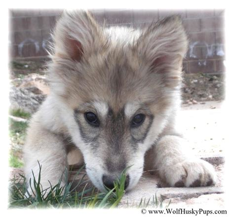 wolf malamute puppies for sale wolamute puppies canadian timber wolf gray wolf alaskan malamute