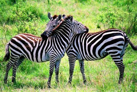 Zebra   The Biggest Animals Kingdom