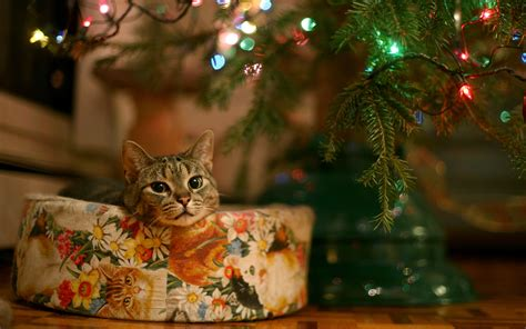wallpaper cats christmas christmas cat cute wallpapers