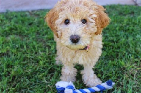 most hypoallergenic dogs most popular hypoallergenic breeds canna pet 174