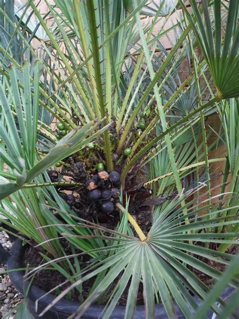 chamaerops humilis mediterranean fan palm chamaerops humilis cerifera 50l evergreens turn it
