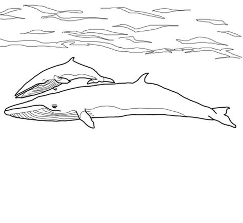 minke whale coloring page minke whale mother and baby coloring page free printable