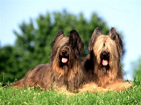 briard dogs of briard dogs photo and wallpaper beautiful of briard dogs pictures