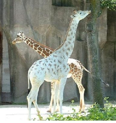 sentence pattern for i saw a tall giraffe 75 best giraffes stand up stand tall images on