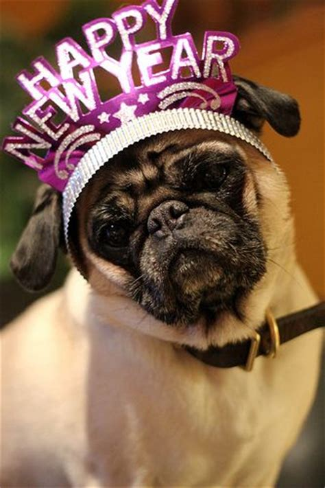 new year pug happy new year pug