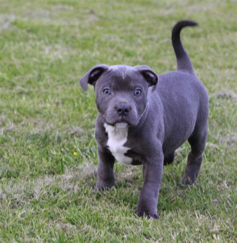 blue staffy animated american staffordshire terrier wallpaper breeds picture