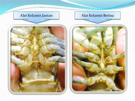 Pembenihan Lobster Air Tawar pembenihan lobster air tawar