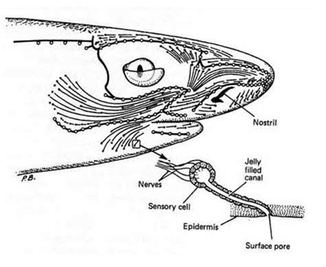 shark brain diagram sensory systems electroreception