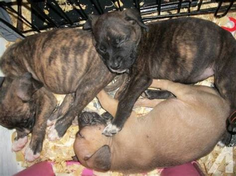 pitbull mastiff puppies for sale mastiff pit bull mix puppies for sale the for sale in