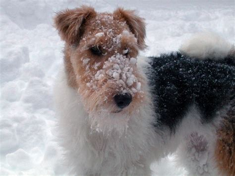 wire hair fox terrier puppies i wire hair fox terriers animals and pets