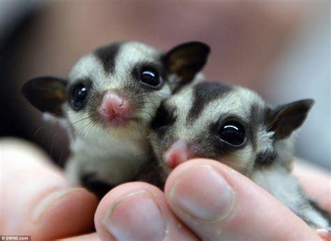 sugar gliders related to kangaroos born at zoolab jungle