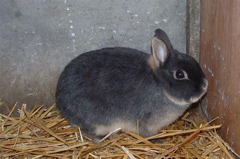 b07csr31fb la tete du lapin bleu les races de lapins