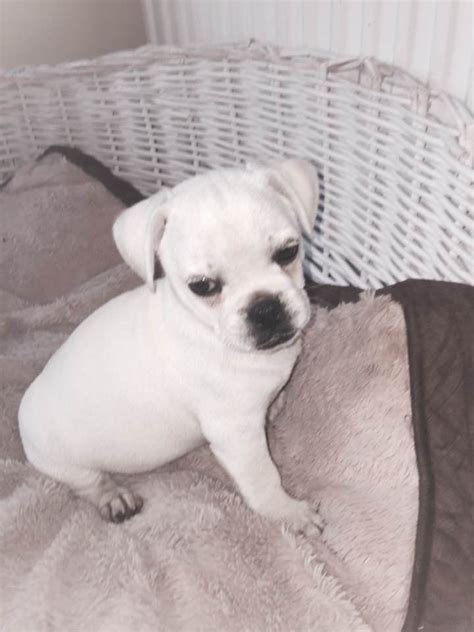 pug breed price stunning loveable white 3 4 pugs reduced price felixstowe suffolk pets4homes