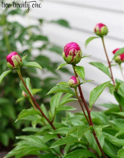 growing peonies gardens childbirth and ants