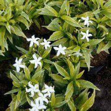 Bunga Hias Aster Mini tanaman hias daun bibitbunga
