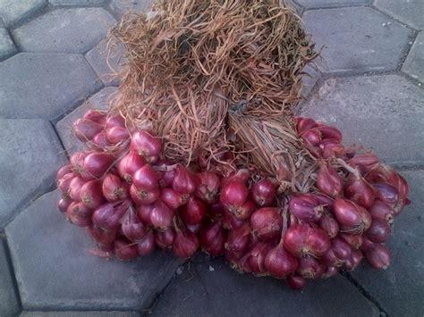 jual bibit bawang merah unggul kwalitas bawang
