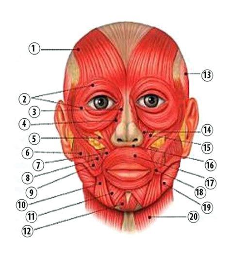 muscoli testa i muscoli viso della testa e collo r r