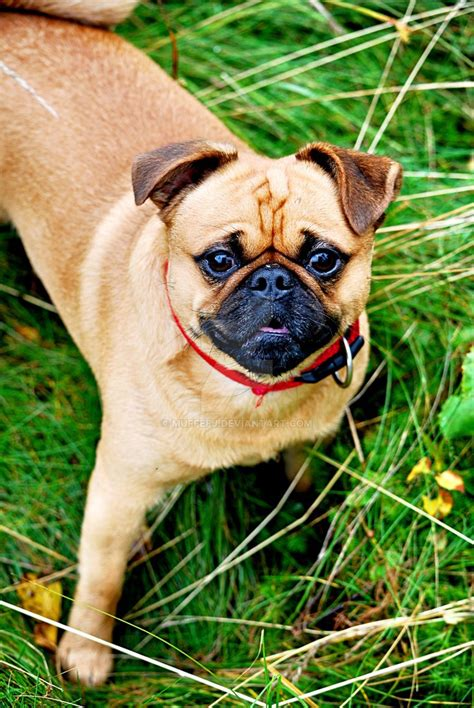 nature of pug a pug in nature by muffefj on deviantart
