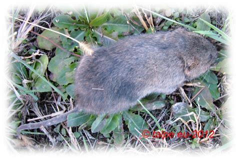 come allontanare i topi dal giardino piante anti talpe come allontanare le talpe dal giardino
