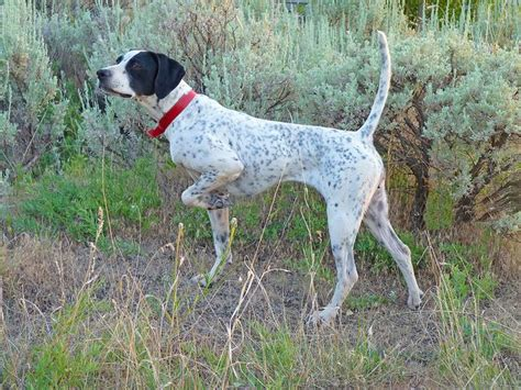 finance dogs 17 best images about bird dogs on quails quail and birds