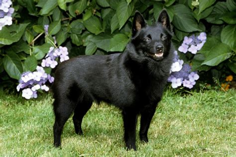 schipperke puppy for sale schipperke puppies for sale from reputable breeders